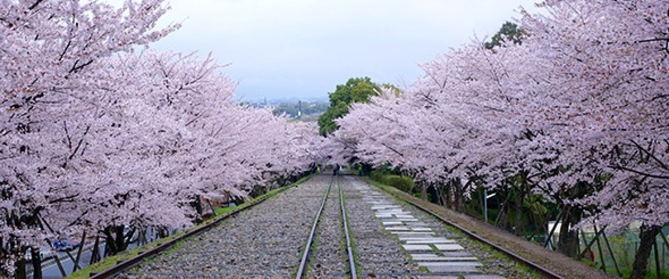 ฮานามิดอกซากุระในเกียวโต