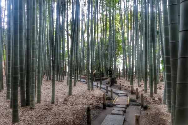 ป่าไผ่ของวัดโฮะโกะกุ-จิ วัดเรืองชื่อ (จากป่าไผ่) ของคามาคุระ
