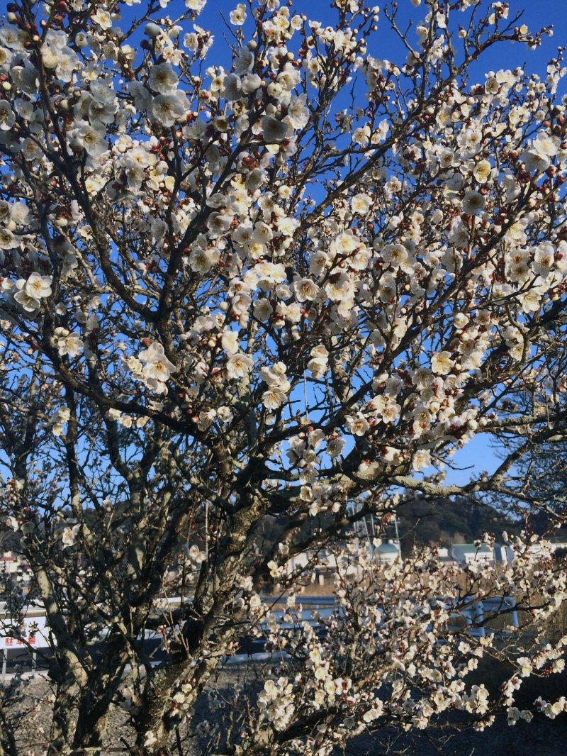 Plum tree in Chiba.