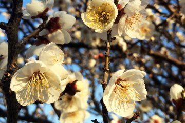 The blossoms are usually before cherry blossoms.