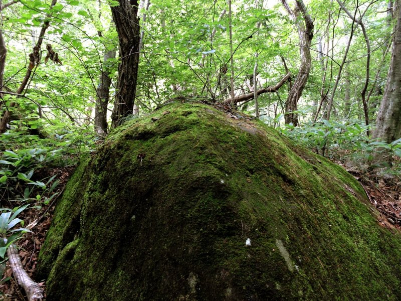 Large mossy rocks are scattered among the trees beside the trail to the waterfalls