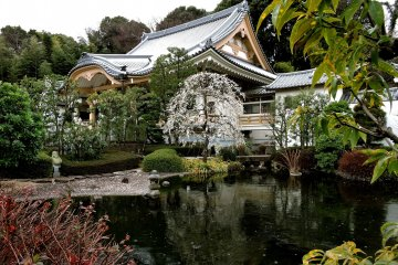 Plum Blossoms at Shounji Temple