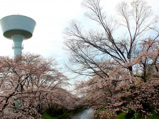 The lighthouse stood tall and proud amid the pinkish-white shades of the Sakura trees