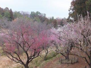Pohon plum di Taman Hodogaya