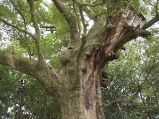 大木の樹齢パワーをいただく