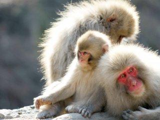 คุณจะเห็นครอบครัวลิงอยู่ด้วยกันเป็นกลุ่มท่ามกลางแสงแดดยามบ่าย ซึ่งจะมีพ่อแม่และลูกสองตัว