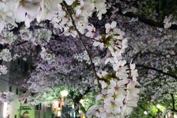木屋町上的樱花