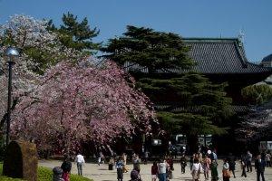 Floraison des cerisiers au temple Zojo-ji, juste à côté de la Tour de Tokyo