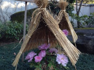 """In winter, each plant is covered with a little straw """"hat"""" quite reminiscent of a samurai's kabuto"""