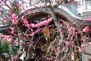Pruniers en fleurs à Ōsaka Tenmangū
