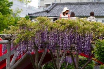 ชวนชมและดมดอกไม้ที่ศาลเจ้า คะเมะอิโดะ เท็นจิน