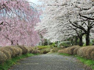 나무들은 요시노 벚나무, 수양벚나무, 그리고 겹꽃벚나무가 대부분입니다.