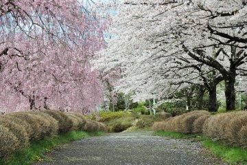 Hoa anh đào ở công viên Hitsujiyama, Saitama