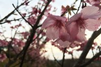 JapanTravel의 벚꽃 사진 이벤트