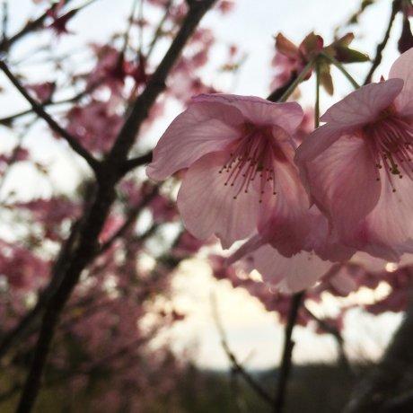 Sự kiện chụp ảnh Sakura Japan Travel