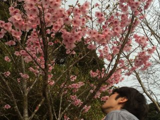 The cherry blossoms have a sweet fragrance.