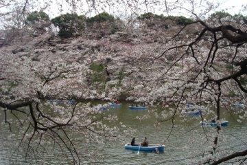 Mengejar Sakura