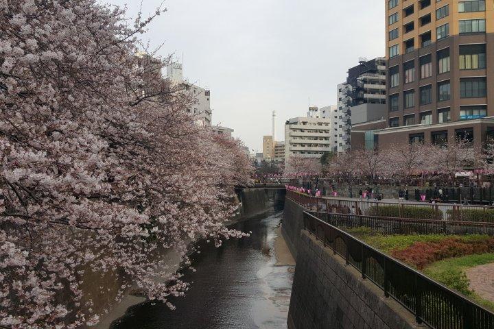 Sakura at Meguro River