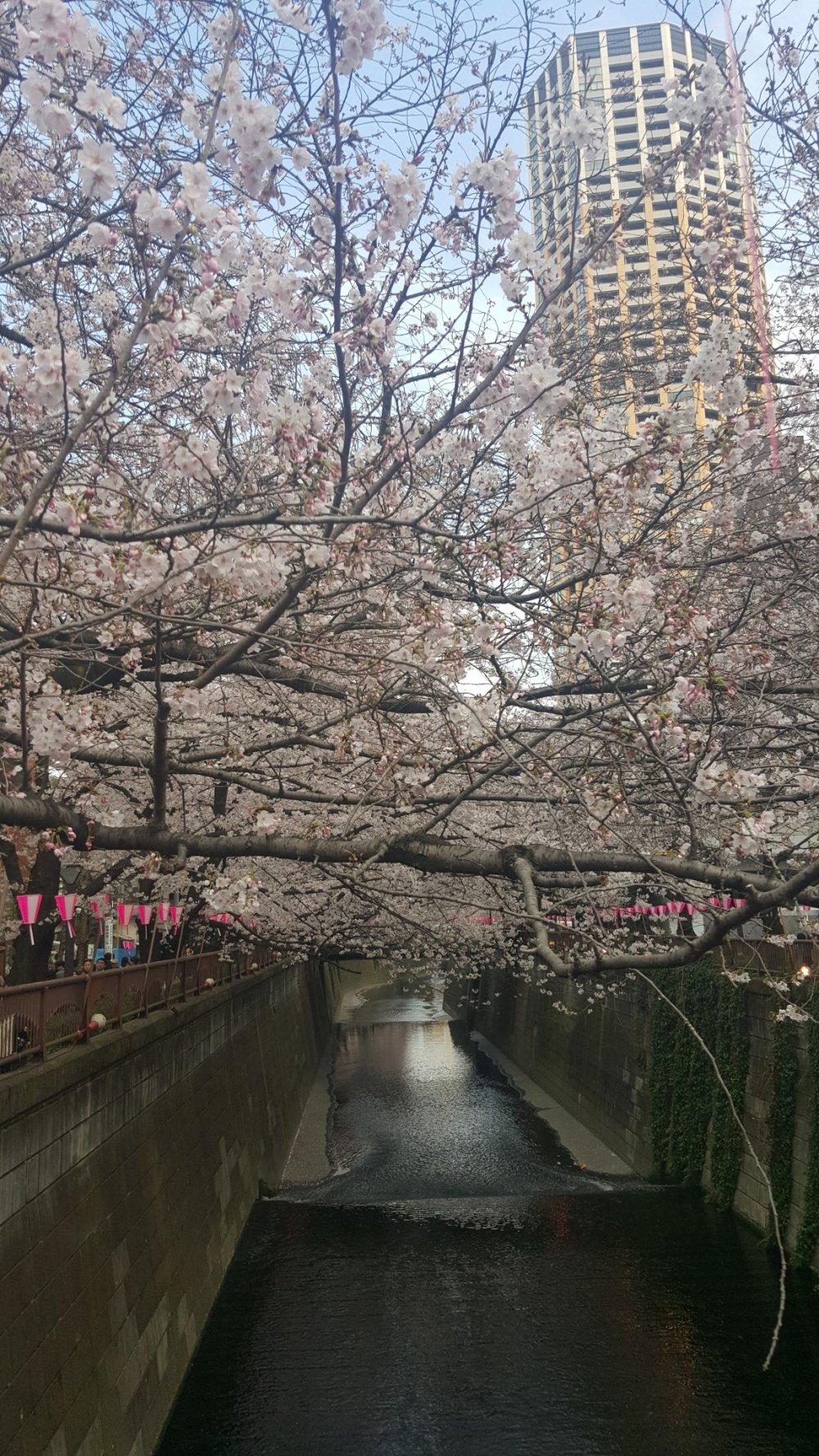 Sakura At Meguro River Tokyo Japan Travel