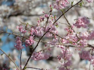 A close up reveals two constrasting colors highlighting the fact that there are many different kinds of Cherry Blossoms