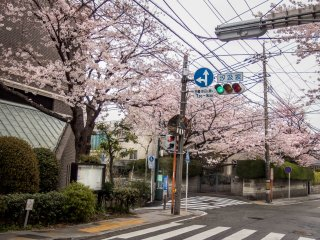Barisan panjang dari pepohonan sakura menutupi banyak bangunan terkenal seperti Universitas Ferris
