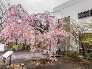 Pohon sakura penuh warna yang berlokasi di luar sebuah museum desain