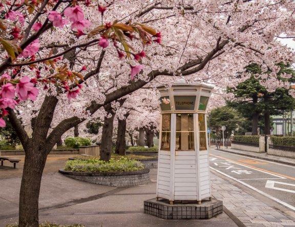 Yamate-Bluff Cherry Blossoms