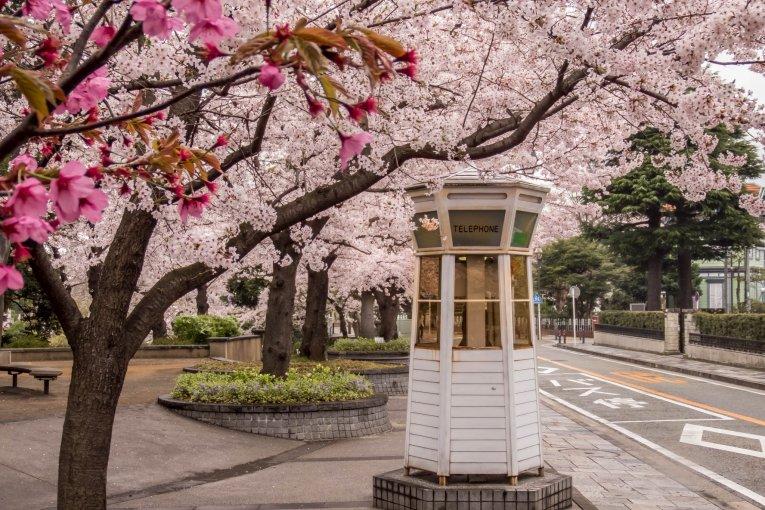Sakura di Tebing Yamate