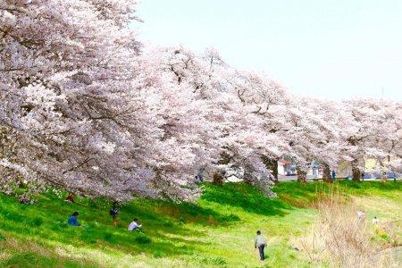 한눈에 보이는 천 송이의 벚꽃