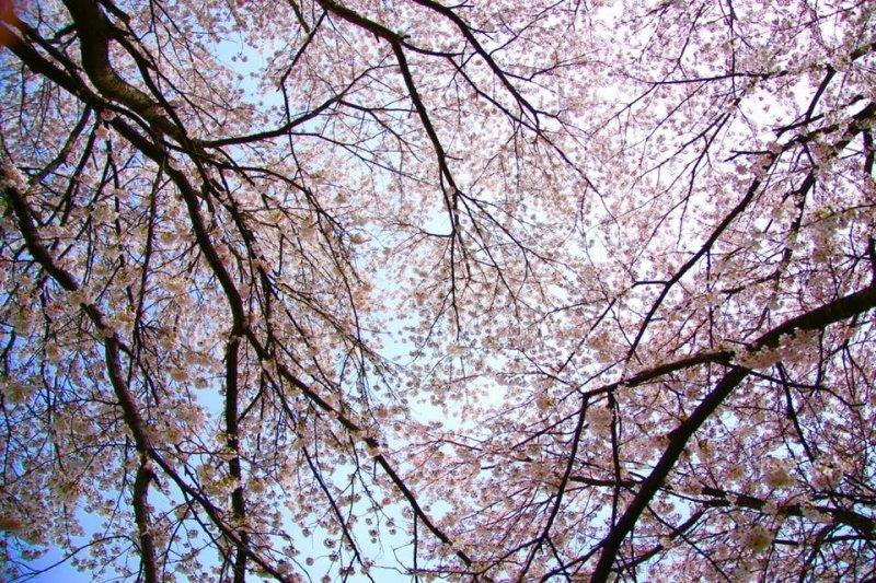 放眼望去尽是粉红、雪白色