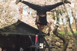 A street performer balancing on chairs with the cherry trees as a backdrop