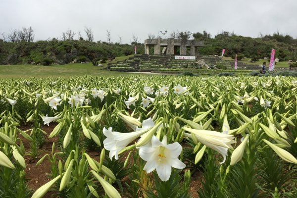 A sea of lilies - the lookout point is in the background