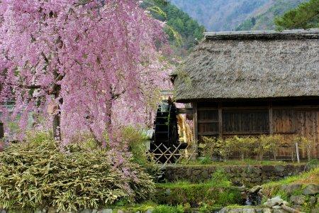 Hoa anh đào tại làng Iyashi no Sato Nenba