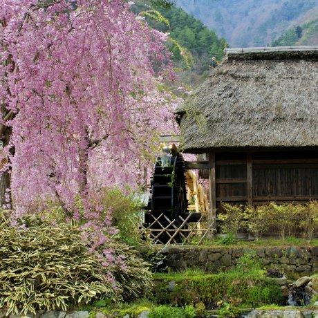 Sakura di Iyashi no Sato Nenba