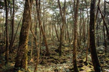 ป่า Aokigahara แห่งยะมะนะชิ