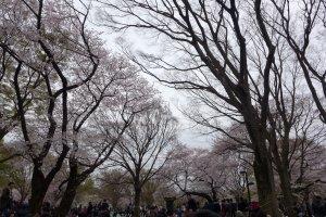 #ShareTheSakura Hoa anh đào tại công viên Yoyogi, Tokyo
