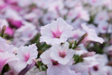 淡粉喇叭花