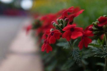 豔紅的野花
