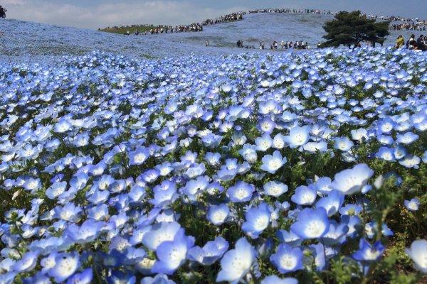 Field Of Millions Of Flowers Ibaraki Japan Travel
