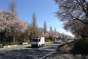"""""""Daigakudoori"""" is lined with cherry blossom trees"""