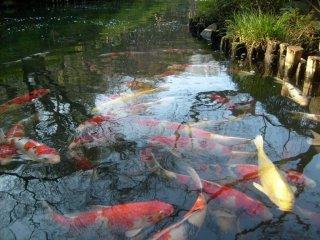 Những chú cá chép trong ao thường tập trung mỗi khi có du khách đứng ở dìa ao