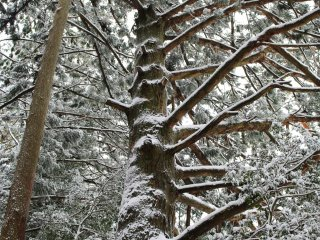 Under snow, the forest canopy carries an entirely different feel