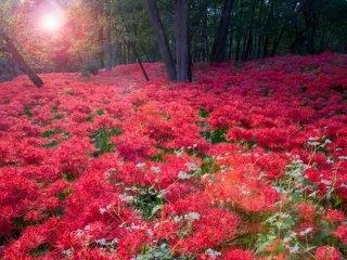 Cả Mặt Trời cũng có một quầng đỏ