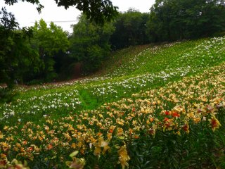 A Lily field.