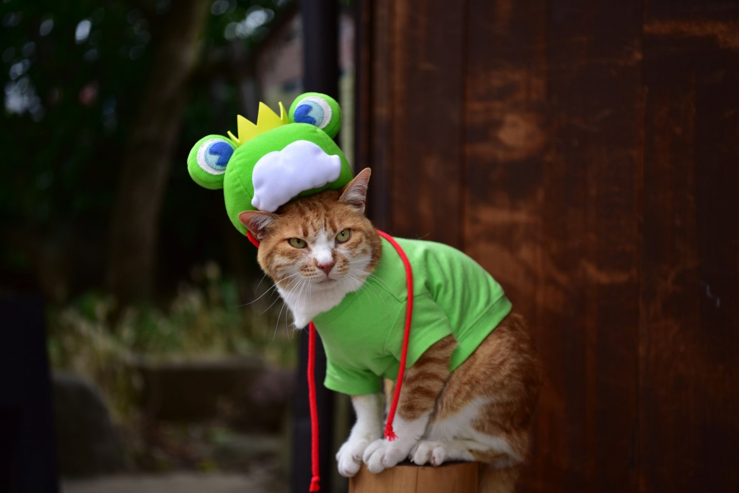 The star of the festival: cat frog