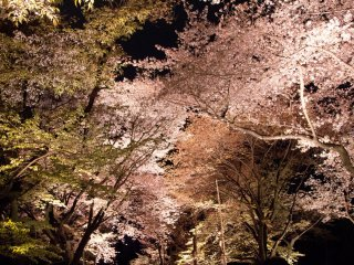 It was a different kind of magical to walk under sakura at night