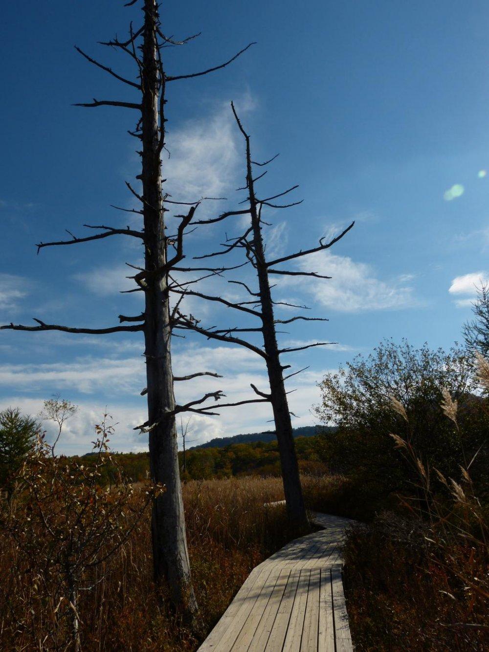 이 귀중한 들판을 보호하기 위해 설치한, 긴 나무길들이 습지를 헤치고 지나간다