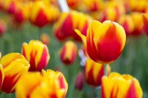 มีดอกทิวลิปอยู่มากมายทำให้ได้ชมอย่างสมใจอยาก