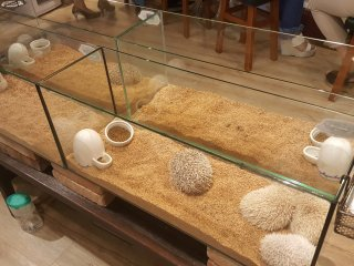The cafe has a variety of hedgehogs