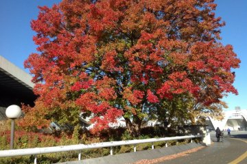 <p>Maple tree turns red color during autumn times.</p>